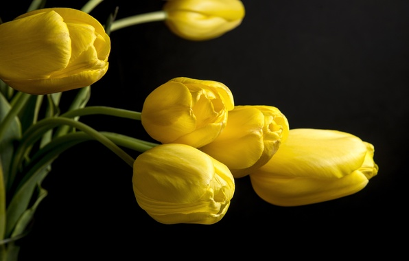 Picture flowers, background, black, yellow, petals, tulips