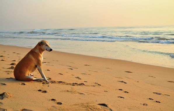 Picture sand, beach, traces, dog, the sun, sea. wave