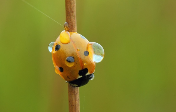Picture water, drops, Rosa, ladybug, stem, insect