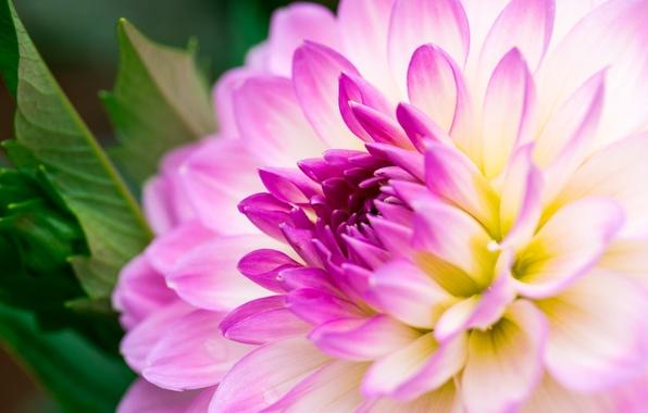 Picture macro, petals, Bud, flowering, tulips, Dahlia