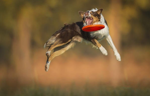 Picture jump, the game, dog, dog, mouth, disk, breed, catches, Border Collie, Aport, Frisbee