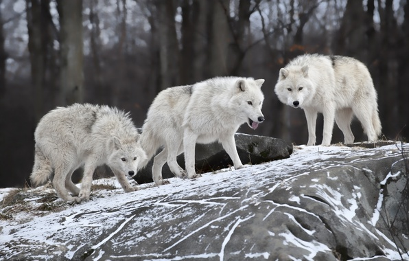 Picture nature, predator, family, wolves, winter.snow