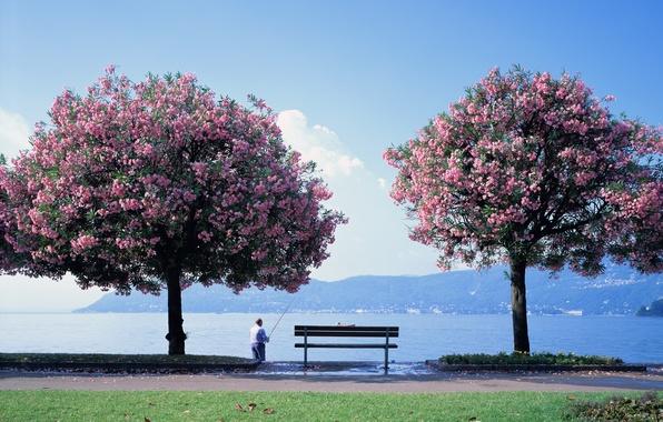 Picture flowers, bench, lake, tree, fisherman, Sakura