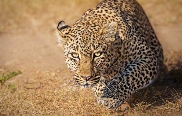 Picture look, leopard, wild cat, Kenya, Kenya, Masai Mara, Masai Mara