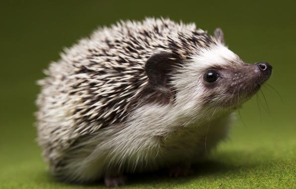 Picture eyes, close-up, interest, nose, Hedgehog