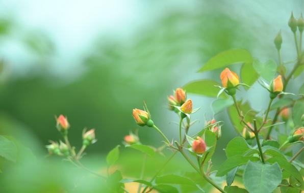 Picture greens, macro, nature, green, color, Bush, roses, blur, orange, buds