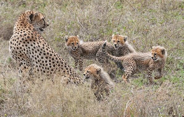 Picture kittens, cheetahs, motherhood, family, cubs