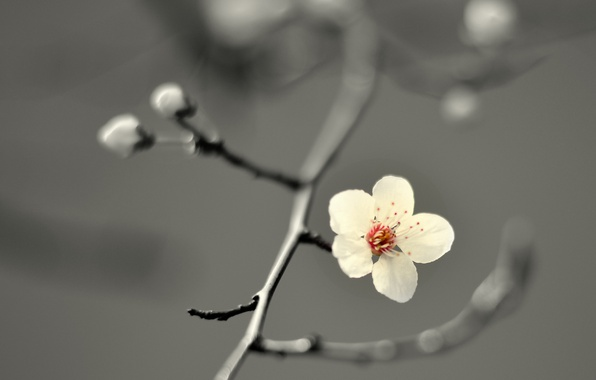 Picture flower, cherry blossom, petals, branch, buds