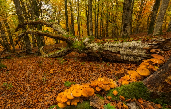 Picture autumn, forest, trees, mushrooms, moss, Spain, Basque Country, Urabain