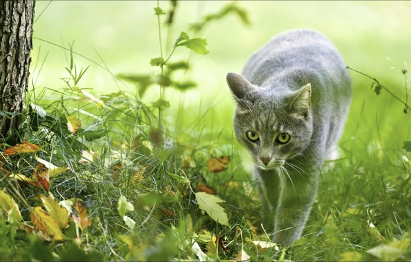 Picture autumn, animals, cats, nature, hunter, Wallpapers, ceramide