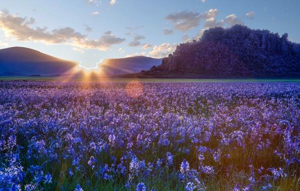 Picture flowers, the steppe, sunrise, dawn, Prairie, Idaho, Idaho, camassei, Camas prairie