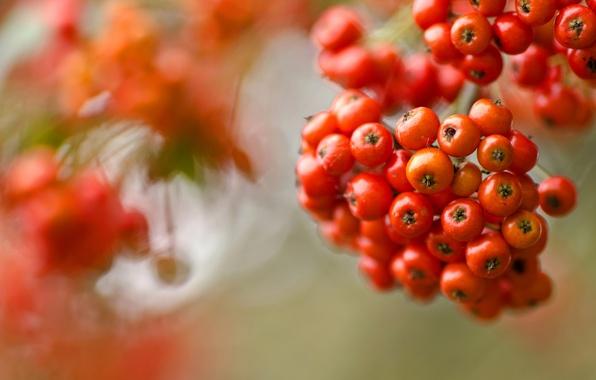 Picture autumn, paint, berry, Rowan