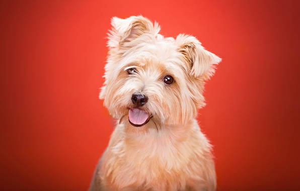 Picture language, look, background, dog, Yorkshire Terrier