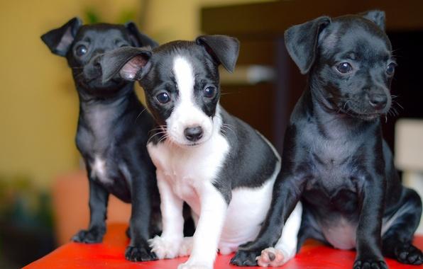Picture dogs, puppies, trio, Trinity