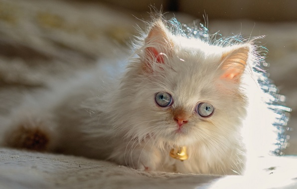 Picture blue eyes, cat, Persian color-point, Himalayan cat