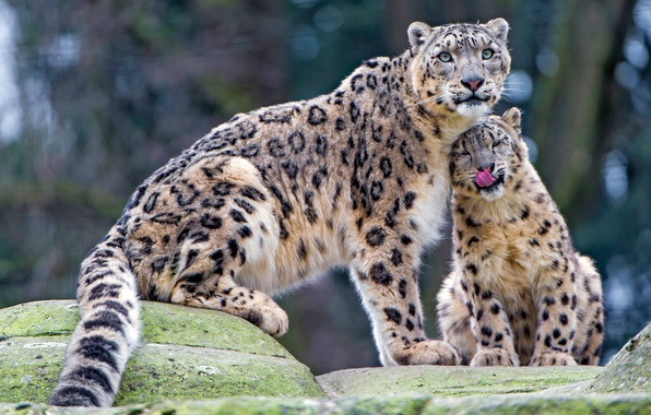 Picture language, look, cats, stones, kitty, tenderness, baby, weasel, snow leopard, wild cats, care, cub, zoo, …