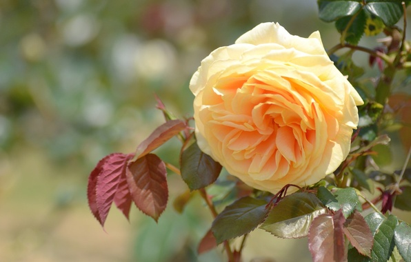 Picture rose, yellow, yellow rose