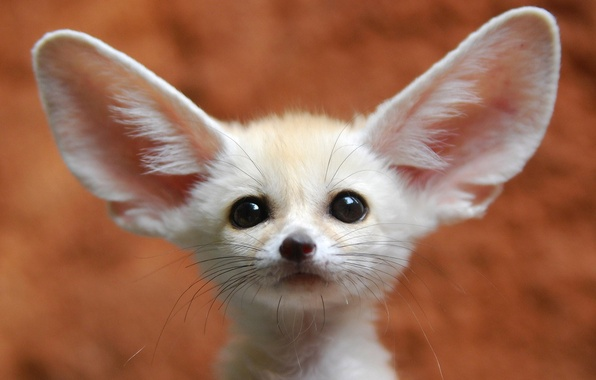 Picture look, nature, ears, Fenech