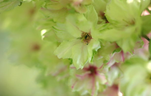 Picture macro, tenderness, Flowers, spring, blur, Sakura, green, green, flowering