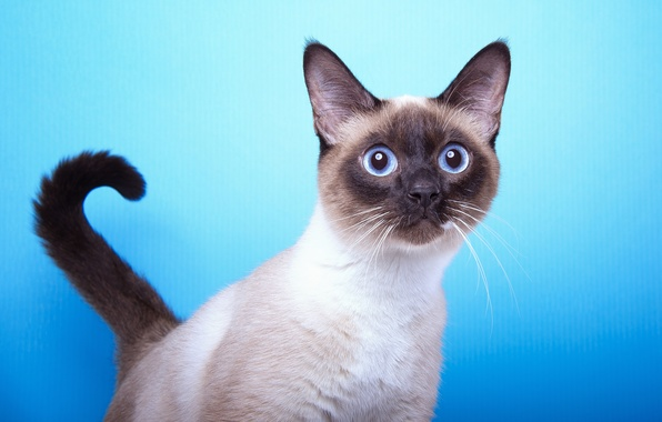 Picture cat, background, muzzle, tail, breed, Siamese, Vzglyad