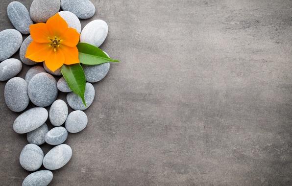 Picture flowers, stones, flower, orchid, stones, spa, zen