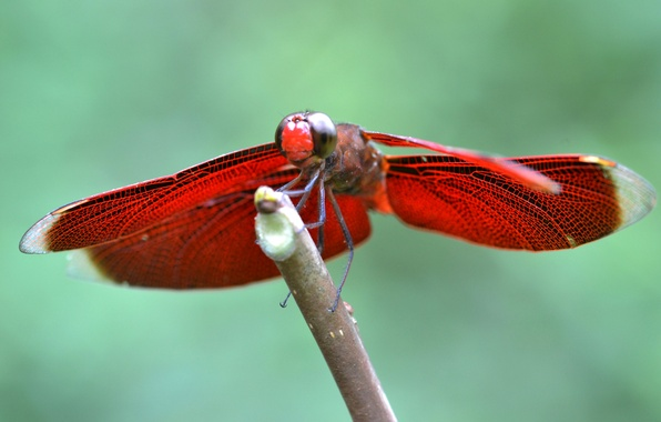 Picture wings, branch, dragonfly, insect