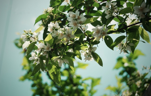 Picture summer, leaves, flowers, branches, nature, tree, petals, nature, flowers, Jasmine