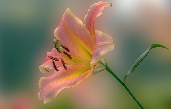 Picture macro, background, Lily