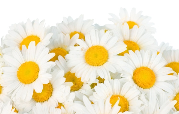 Picture flowers, chamomile, spring, white, white, flowers, beauty, spring, Camomile, freshness