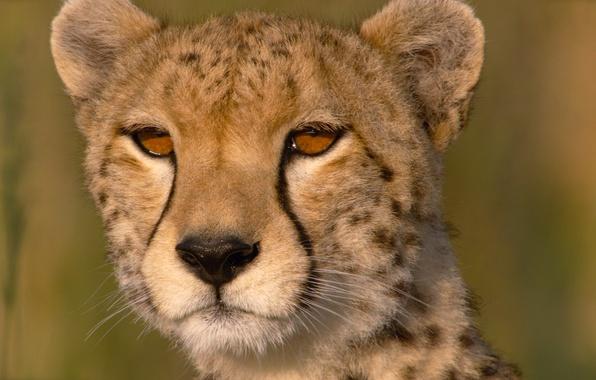 Picture eyes, close-up, Cheetah, Savannah