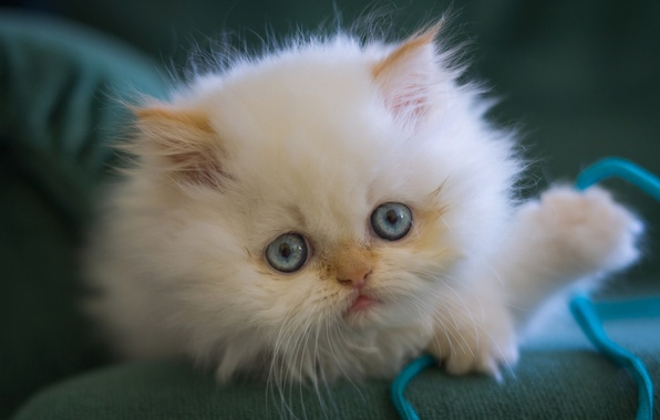 Picture white, look, fluffy, muzzle, kitty, blue eyes