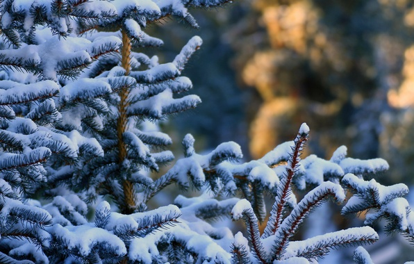 Picture winter, forest, snow, needles, branches, tree