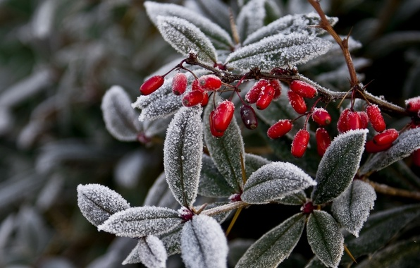 Picture winter, frost, leaves, nature, berries, plant, branch, frost, fruit, frost