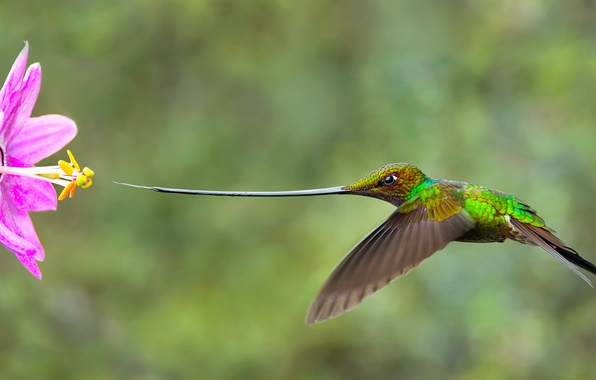 Picture flower, background, goal, beak, nose, Hummingbird