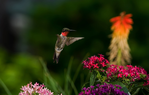 Picture flowers, nature, bird, Hummingbird, bird