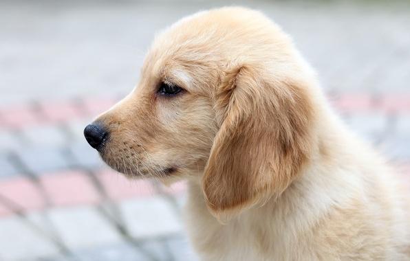 Picture dog, puppy, Retriever