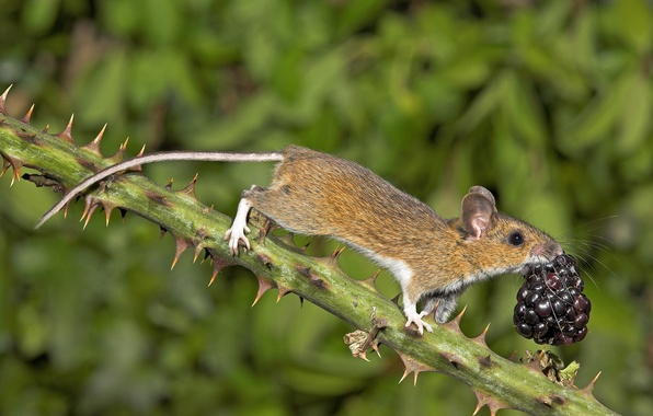 Picture nature, branch, mouse, berry, spikes, BlackBerry
