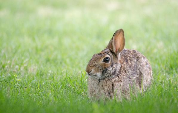 Picture grass, grey, hare, hare