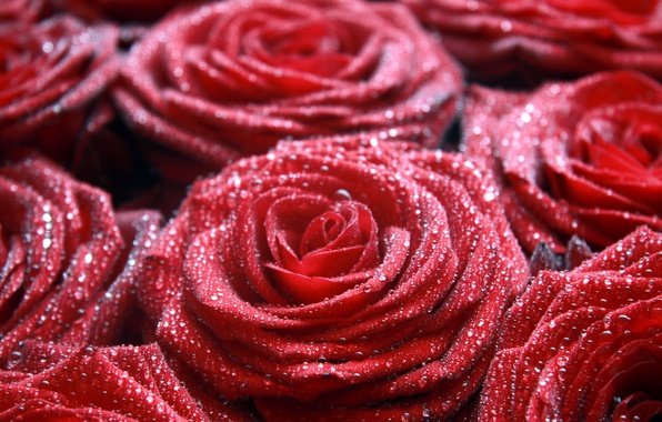 Picture macro, flowers, Rosa, red, drop, roses