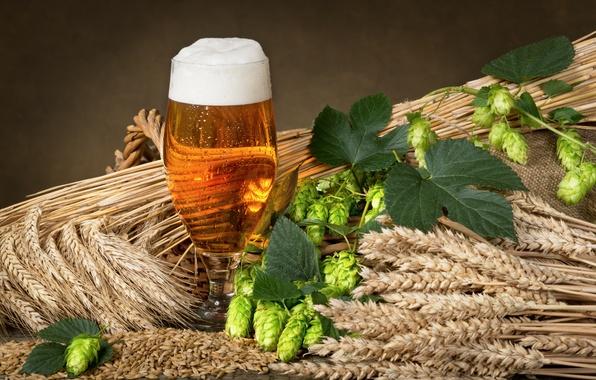 Picture glass, beer, ears, millet, foam, hops