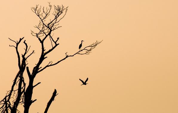 Picture birds, background, tree, minimalism