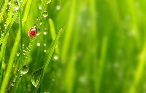 Picture grass, drops, macro, nature, Rosa, ladybug, morning, nature, macro, morning, ladybug, the grass, the dew …