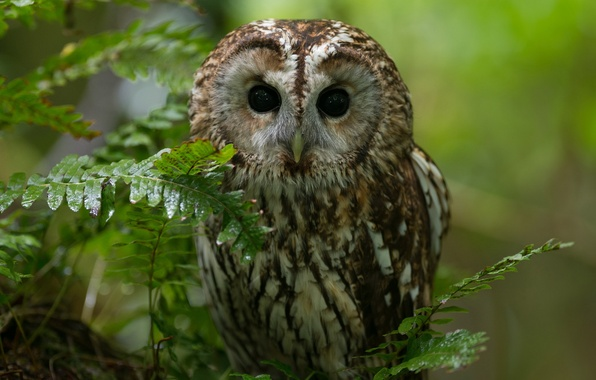 Picture forest, nature, owl, bird