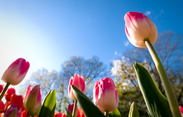 Picture the sky, leaves, the sun, tulips, buds, view, urovnem plan