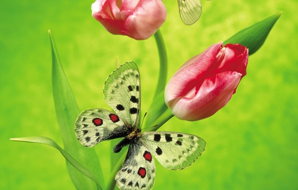Picture flowers, green, butterfly, Tulip