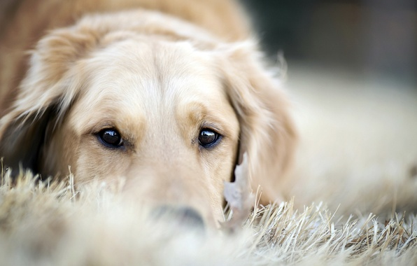 Picture each, dog, Retriever