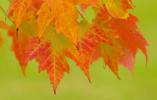 Picture leaves, background, branch, red, orange, autumn