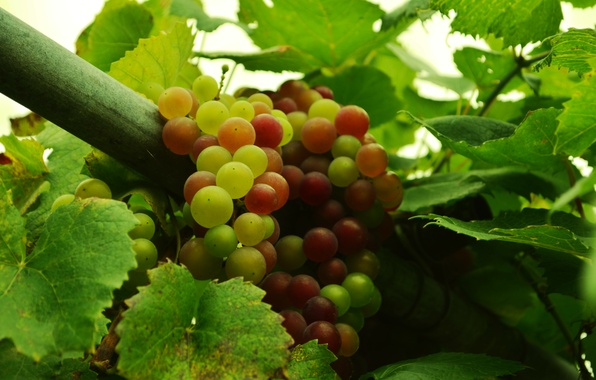 Picture autumn, berries, food, grapes, fruit