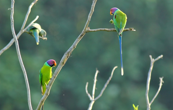 Picture color, parrot, branches