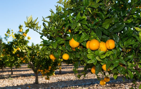Picture nature, garden, nature, garden, orange trees, orange trees